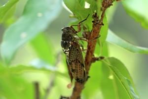 cicada-2398620_1920